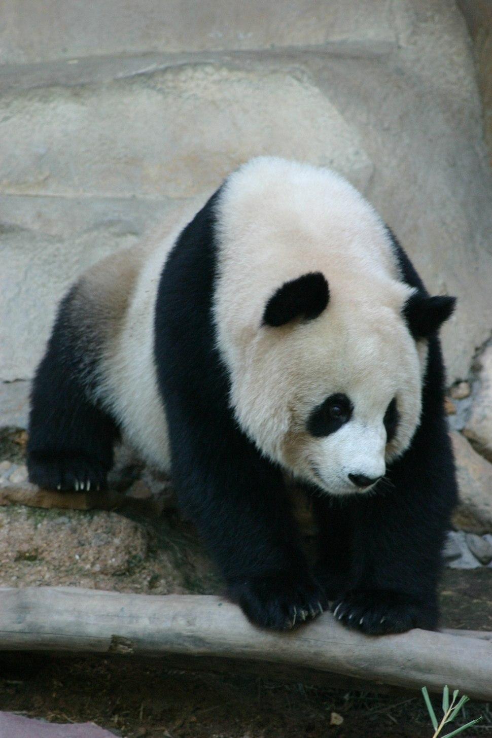 Panda ChiangMaiZoo humarkus