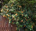 Pandorea golden showers 2.jpg