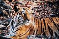 Panthera tigris tigris pench.jpg