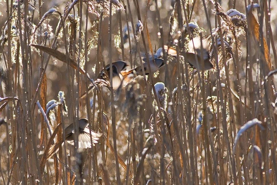 Panurus biarmicus flock