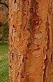 Paperbark Maple Acer griseum Bark Vertical 1885px.jpg