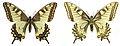Papilio machaon SLU.JPG