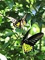 Papilionidae (flying pair) (29460476176).jpg