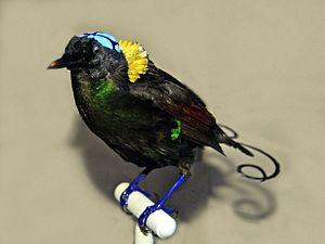 Wilson's bird-of-paradise - Image: Paradisaeidae Cicinnurus respublica