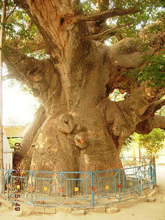 Parijaat tree, Kintoor - Parijat tree at Kintoor, Barabanki