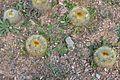 Parodia chrysacanthion, cactus.JPG