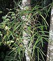 Parsonsia capsularis or heterophylla.JPG