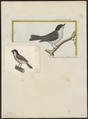 Parus palustris - 1700-1880 - Print - Iconographia Zoologica - Special Collections University of Amsterdam - UBA01 IZ16100117.tif