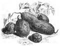 Patate rose de Malaga Vilmorin-Andrieux 1883.png