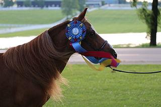 GTR Patricks Vindicator miniature horse