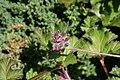 Pelargonium capitatum 2zz.jpg