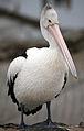 Pelican (bertknot 002).jpg