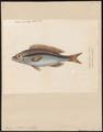 Pentapus vitta - 1844-1846 - Print - Iconographia Zoologica - Special Collections University of Amsterdam - UBA01 IZ13000265.tif