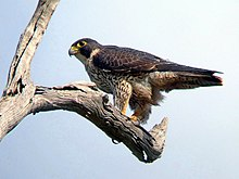 Peregrine Falcon Kobble Apr07.JPG
