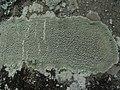 Pertusaria pertusa (Weigel) Tuck 322480.jpg
