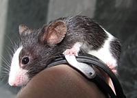 Пятнистый малыш декоративные мыши