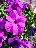 Petunia flower.jpg