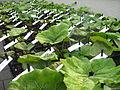 Petzell plants prepared for planting.jpg