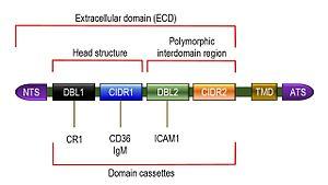 Plasmodium falciparum erythrocyte membrane protein 1 - Typical structure of PfEMP1. NTS = N terminal segment. TMD = transmembrane domain. ATS = intracellular acidic terminal segment.