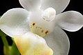 Phalaenopsis lobbii (Rchb.f.) H.R.Sweet, Gen. Phalaenopsis 53 (1980) (39946021694).jpg