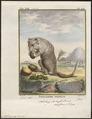 Phalangista orientalis - 1700-1880 - Print - Iconographia Zoologica - Special Collections University of Amsterdam - UBA01 IZ20300053.tif