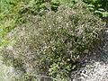 Philadelphus microphyllus 4.jpg
