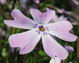 Phlox subulata - one flower.jpg