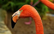 Phoenicopterus ruber -Sacramento Zoo -head and neck-8a.jpg