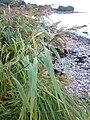 Phragmites australis 05.jpg