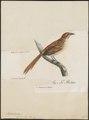 Phyllastrephus capensis - 1796-1808 - Print - Iconographia Zoologica - Special Collections University of Amsterdam - UBA01 IZ16400035.tif