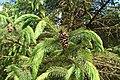 Picea spinulosa kz04.jpg