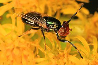 Ulidiini Tribe of flies in the family Ulidiidae