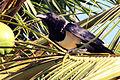 Pied crow Madagascar.jpg
