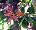 Pieris formosa in Dunedin Botanic Garden 06.jpg