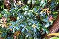 Pieris formosa in Dunedin Botanic Garden 07.jpg