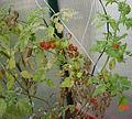 PikiWiki Israel 12329 Greenhouse tomatoes.jpg