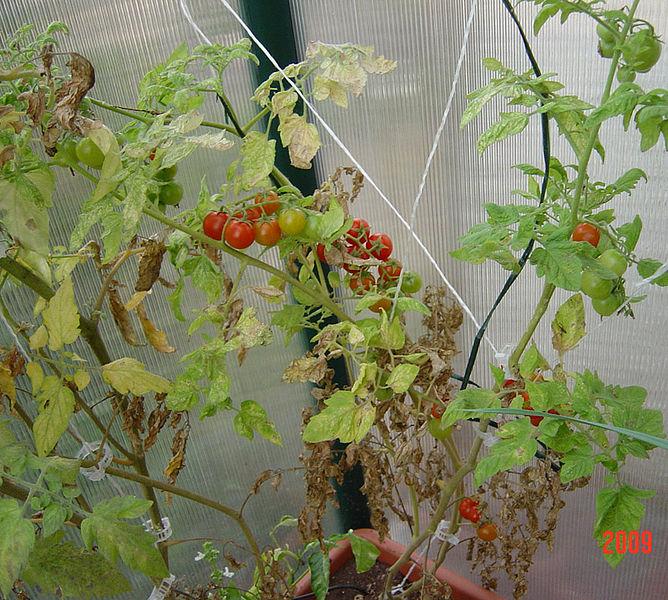 עגבניות בחממה