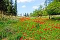 PikiWiki Israel 18958 Anemones in Beeri forest.jpg