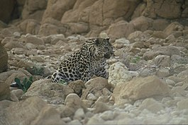 PikiWiki Israel 21612 Leopard in the Judean desert photographed by.jpg