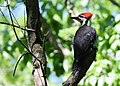 Pileated Woodpecker (34700267846).jpg