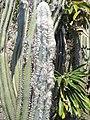 Pilosocereus leucocephalus (Monaco).jpg