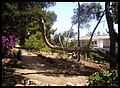 Pinas, Pine wood. Torrox-Costa. - panoramio.jpg