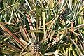 Pineapples (8354588493).jpg