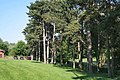 Pines in the park - geograph.org.uk - 839552.jpg