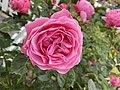 Pink Garden Rose by A - 2020-06-18 (03).jpg