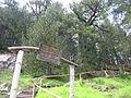 Pinus heldreichii Pirin 1.jpg