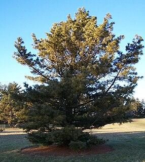 <i>Pinus koraiensis</i>