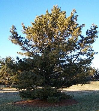 Pinus koraiensis - Cultivated at Morton Arboretum