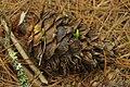 Pinus morrisonicola 22126600.jpg