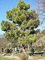 Pinus pinaster ssp. pinaster (Jardin des Plantes de Paris).jpg